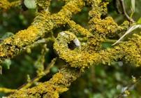 Loopy lichen