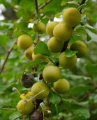 More hedgerow fruit - greengages