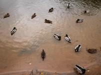 Random ducks