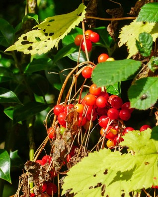 Red berries (and more hop leaves)