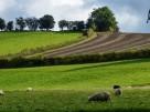 Sweeping fields; sheep in field