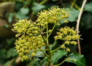 Ivy flowers