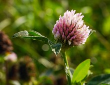 ... and clover in Benthall fields