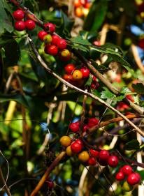 Bindweed berries